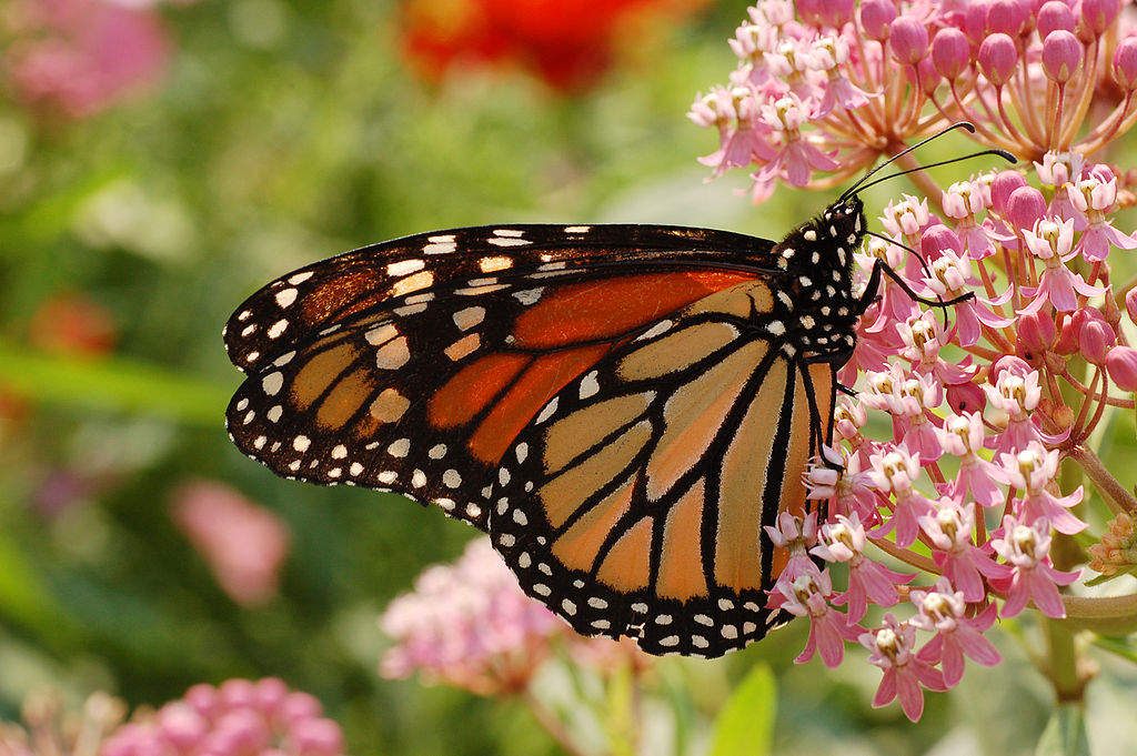 Monarch butterfly on a flowering milkweed wildflower plant